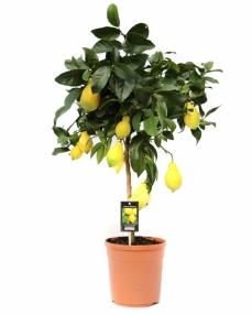 Lemon 80 cm