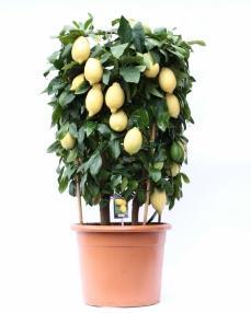 Lemon on cilinder