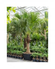 Livistona Chinensis 435 cm