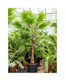 Livistona Rotundifolia 475 cm
