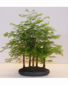 Bonsai Metasequoia Glyptostroboides 35 cm