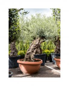 Maslin bonsai 180 cm