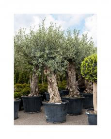 Maslin bonsai 200 cm