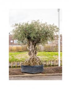 Maslin bonsai 250 cm