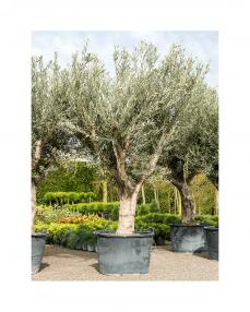 Maslin bonsai 260 cm