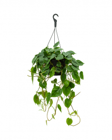 Philodendron Scandens 50 cm