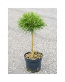 Pinus Marie Bregeon