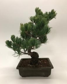 Pinus Parvifola Bonsai 50 cm