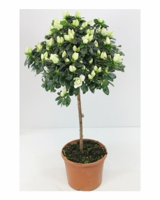 Rhododendron white plant 65 cm height