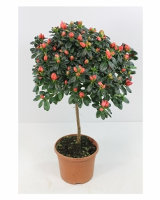 Red rhododendron plant 65 cm height