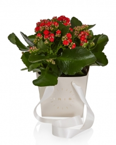 Kalanchoe plant red