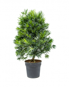Podocarpus 100 cm