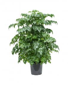 Radermachera Sinica 90 cm