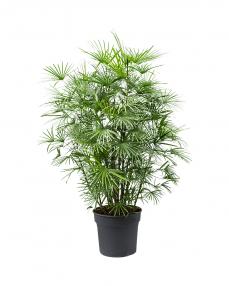 Rhapis Humilis 150 cm