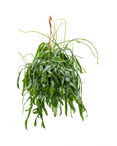 Rhipsalis Ramaloris 50 cm