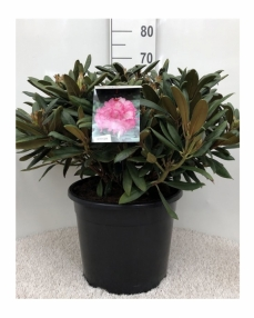 Rhododendron pink 70 cm