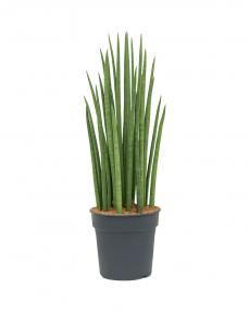 Sansevieria Spikes 100 cm