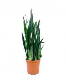 Sansevieria Zeylanica 110 cm