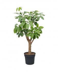 Schefflera Amate 160 cm