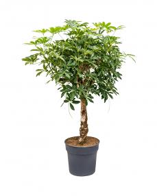 Schefflera Arboricola 140 cm
