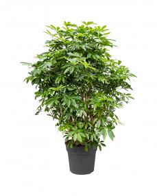 Schefflera Arboricola 145 cm