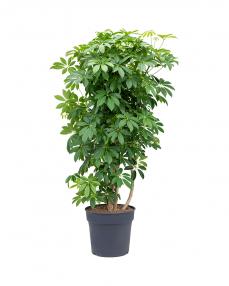 Schefflera Arboricola 150 cm