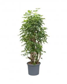 Schefflera Arboricola 200 cm