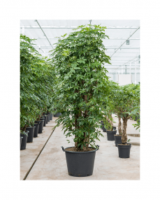 Schefflera Arboricola 250 cm
