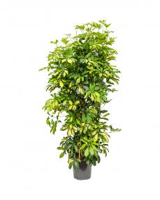 Schefflera Gold Capella 150 cm