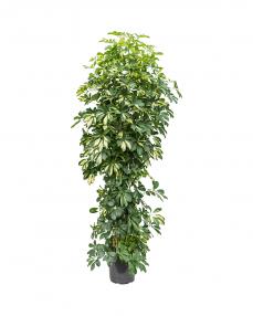 Schefflera Gold Capella 190 cm