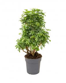 Schefflera Luseana 140 cm