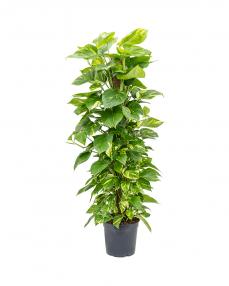 Scindapsus Aureum 130 cm