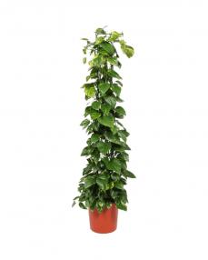 Scindapsus Aureum 180 cm
