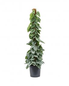 Scindapsus Pictus 120 cm