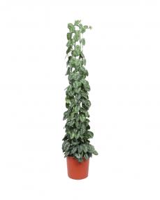 Scindapsus Pictus 180 cm