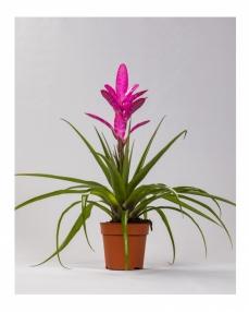 Tillandsia pink 45 cm