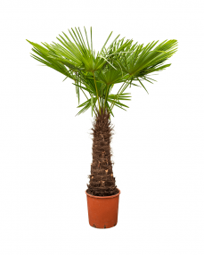 Trachycarpus Fortunei 160 cm