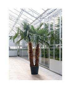 Trachycarpus Fortunei 270 cm