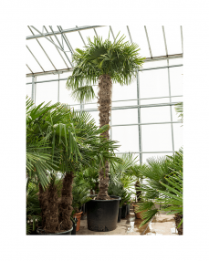 Trachycarpus Fortunei 450 cm