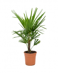 Trachycarpus Fortunei 70 cm
