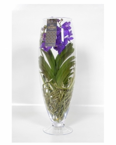 Vanda with glass vase
