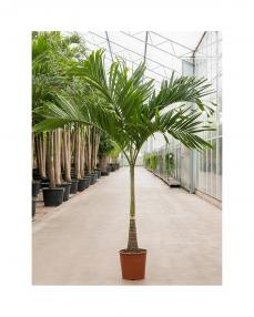 Veitchia Merrillii 250 cm