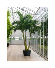 Veitchia Merrillii 450 cm