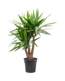 Yucca 100 cm