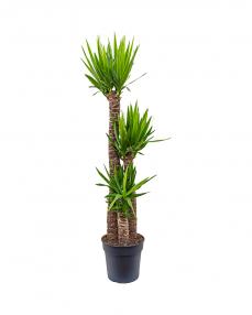 Yucca 160 cm