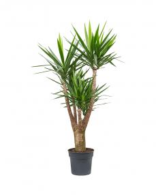 Yucca 175 cm