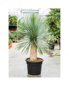 Yucca Rostrata 150 cm