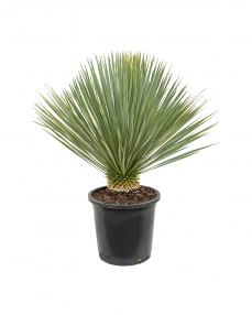 Yucca Rostrata 80 cm