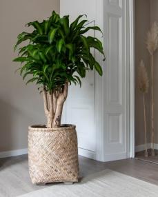 Zayn M, Bamboo ∅55 ↑60