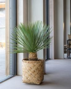 Zayn XS, Bamboo ∅44 ↑42